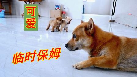 皮豆开心果:狗妈丢下混血小奶狗跑去玩了,暖心狗爸成了保姆
