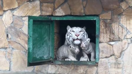 贪玩的小白虎不肯回家,生气的虎妈一声虎啸,直接把它吓尿!