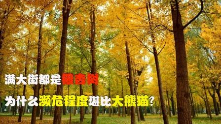 明明满大街都是银杏树,为什么却比大熊猫还要濒危