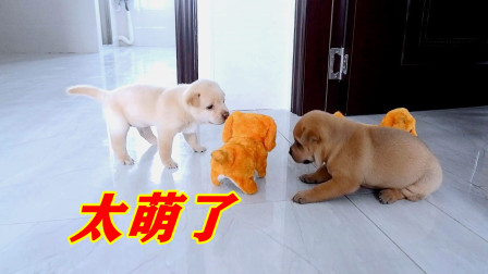 皮豆开心果:小奶狗第一次玩玩具,既好奇又搞笑,简直萌翻了