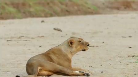 母狮咬住小羚羊,却没有将它杀死,结局温暖人心