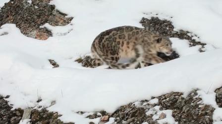 雪豹锁喉野驴,但却被野驴踩踏认怂,可可西里难得一见场景!