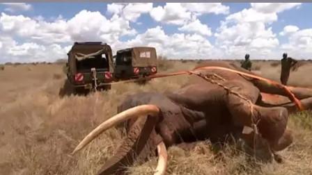 大象倒地不起,已经放弃逃生,没想到最后却出现了转机!