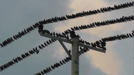 上万只鸟在高压线停留,当它们集体起飞时,高压线瞬间爆炸!