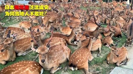 日本梅花鹿泛滥成灾,破坏农田、街头抢食物,为何当地人不敢吃?