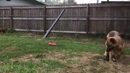 自从家里养了一只狐狸,憨厚的大德牧就再没消停过!