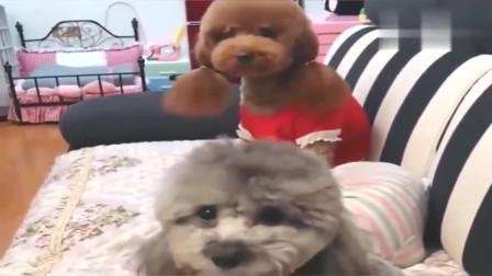 主人说泰迪要睡笼子,另一只泰迪拿来毛巾脸盆,真是一对好夫妻!