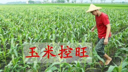 玉米控旺如何把握时间?时间不同有啥区别?别再弄错了