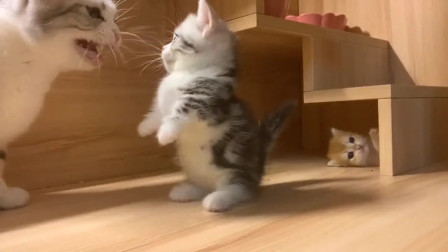 短腿小猫咪准备吓唬妈妈,反击失败灰溜溜离开,奶凶模样太可爱