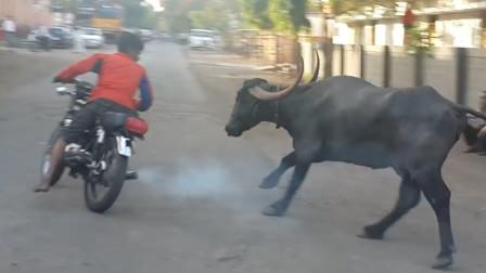 印度小哥骑摩托车挑衅公牛,牛:让我追上了,不弄死你才怪!