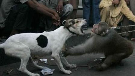 """猴子""""撩拨""""狗狗,净使""""下三滥""""招数,网友:刀呢,都别拦着我!"""