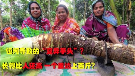 """印度恒河导致的""""芋头变异""""?长得比人还高,一个重达上百斤?"""