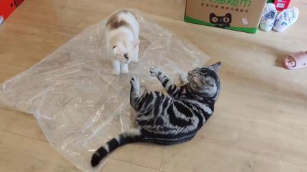 两只小猫咪打起来了,竟然是为了塑料袋,猜猜谁赢了