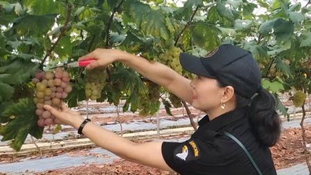 孟塘梨园生态采摘园的葡萄熟了