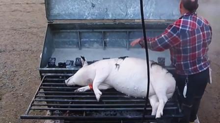 """猪肉好吃可毛却不好刮,于是他来了,他带着""""脱猪毛神器""""来了!"""