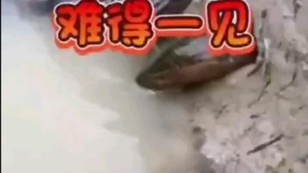 动物奇观《鲤鱼吃黄鳝》