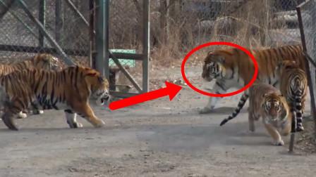 这家伙一出场,直接就吓趴一群老虎,它究竟是什么来头?