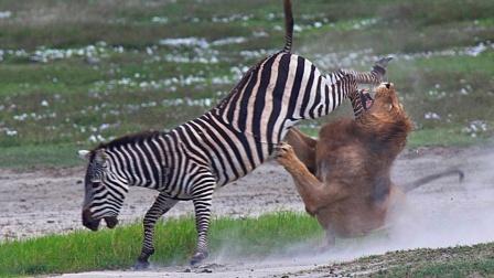 小人物的逆袭,盘点6大能保护自己不受捕食者伤害的猎物