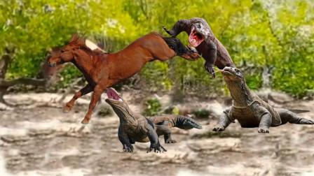 科莫多巨蜥捕食野马,不料反被一脚踢中脑门,巨蜥:草率了!