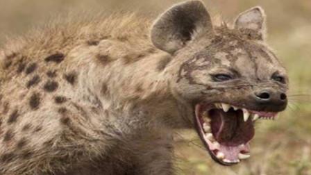 鬣狗意外踩到陷阱,看到人的瞬间,凶猛一览无遗!