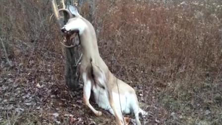一只鹿卡在树干中,男子正想上前搭救,凑近一看吓得原地起飞!