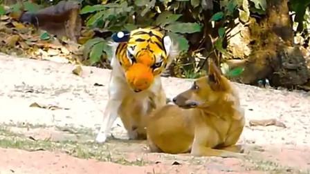 """男子将假老虎放在熟睡狗子身后,狗子瞬间被吓""""起飞"""",狗:救命呀,杀狗了,杀狗了!"""
