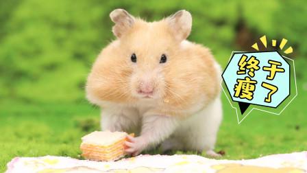 宠物搞笑剧:仓鼠演绎当你减肥时的模样,你们都憋住别笑