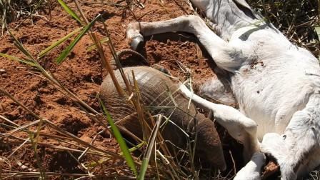 """把死去的山羊搬开,没想到却钻出一""""生物""""来,比蟒蛇还恐怖!"""