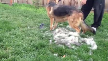 宠物狗换毛简直太可怕, 德牧在后院被铲屎官刷毛