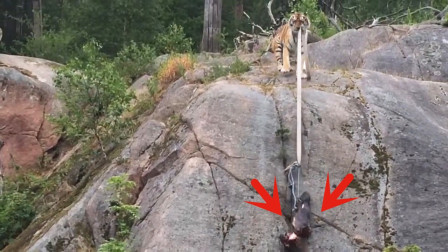 饲养员故意将肉掉在半山腰,猜猜老虎是什么反应?太聪明了!