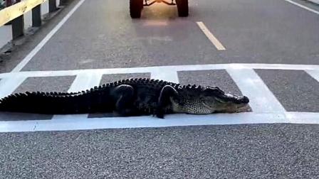 鳄鱼横穿斑马线走一半累了趴地上当路霸 司机全傻眼