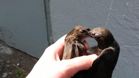 两只鸟儿打架,好心人劝架,鸟儿的反应让人意外