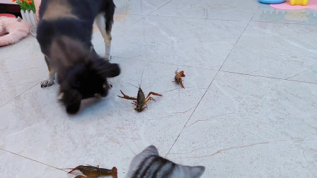 狗狗戏耍小龙虾,猫咪观战表示小龙虾太难了!