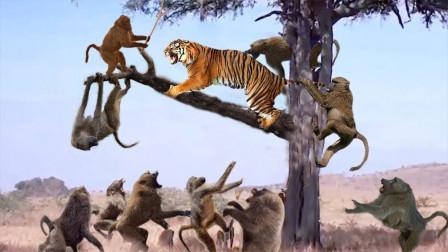 这猴儿太嚣张!竟然明目张胆戏弄老虎,这是活腻歪了吗?