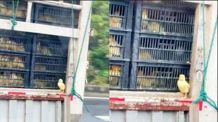 """女子发现隔壁货车尾箱,小鸭子风中独自站车尾,网友:真""""鸭""""运"""