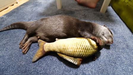 宠主见水獭睡着了,将一条大鱼塞进它怀里,下一秒水獭反应好可爱