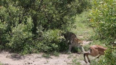 成功过河的斑马被豹子偷袭,在劫难逃。