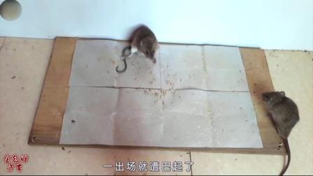 这个视频告诉你,老鼠都是搞笑天才!