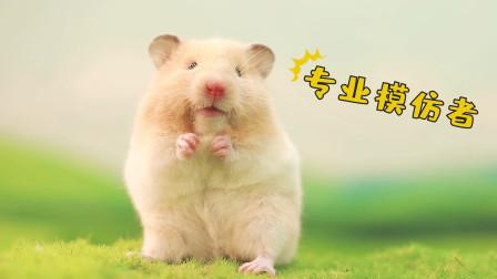 宠物搞笑剧:仓鼠模仿人类聊天这么像,太逗了!