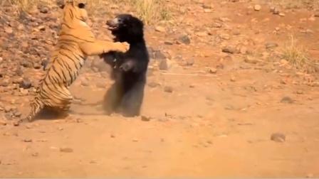老虎轻松捕获鹿,想猎捕黑熊却惨遭反打