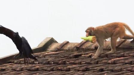 大胆乌鸦偷猴子的食物,猴子的反应太搞笑