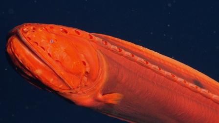 神秘幽灵鱼会随着年龄改变外型 34年仅发现18条