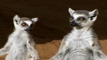 聪明的狐猴,让人给它挠痒痒,太人性化了!