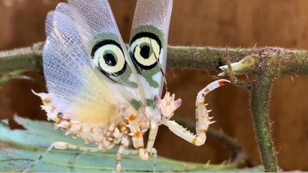看似普通的小螳螂,却有着一双明亮的大眼睛
