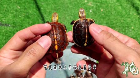 黄缘闭壳龟:安缘苗和台缘苗怎么区分,教你看这4个地方