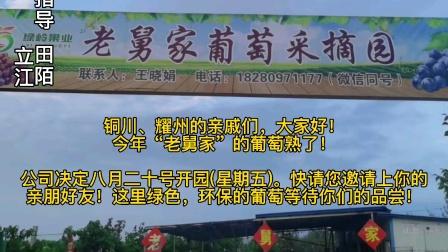 """铜川市耀州区""""老舅家""""的葡萄熟了!赶快带亲朋好友采摘走!"""