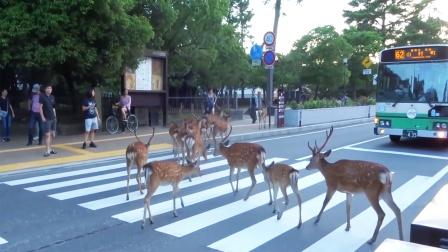 鹿群过马路,人们纷纷给它们停车让路