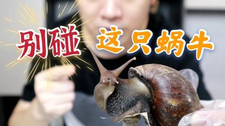 非洲大蜗牛一种常见的高危外来入侵物种,在路边看见一定不要去碰