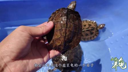 亚洲巨龟和齿缘摄龟,傻傻分不清楚,小池教你看这3个地方