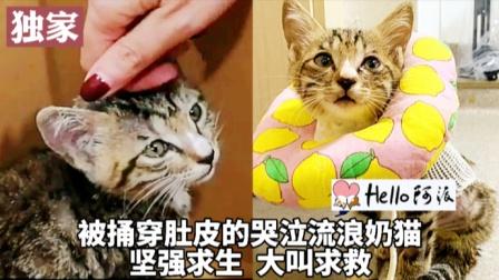 被捅穿肚皮的哭泣流浪奶猫 一路嗷叫求救